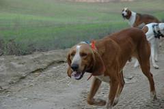 animal sports(0.0), street dog(0.0), dog breed(1.0), animal(1.0), hound(1.0), harrier(1.0), dog(1.0), treeing walker coonhound(1.0), english foxhound(1.0), american foxhound(1.0), pet(1.0), english coonhound(1.0), hunting dog(1.0), carnivoran(1.0), coonhound(1.0),