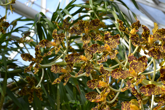 BBG's Grammatophyllum speciosum (tiger orchid) blooms in 2011. Photo by Uli Lorimer.