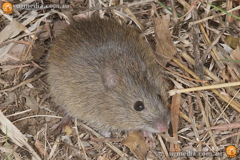 Eastern chestnut mouse (Pseudomys gracilicaudatus)