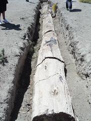 el árbol más grande encontrado. Un Araucaria de 30mts