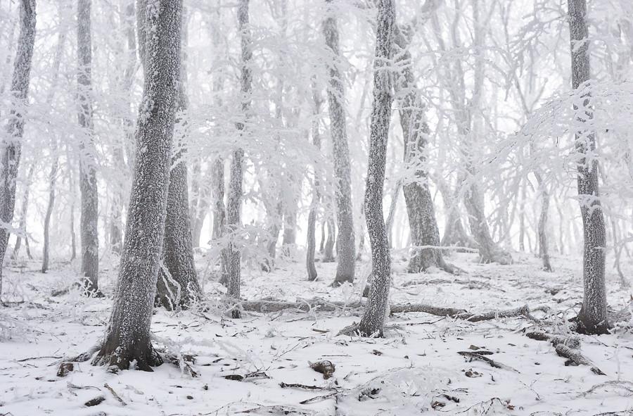 Winter hoarfrost misty forest