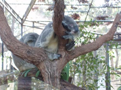 201201170050_CM-zoo-koala-bears