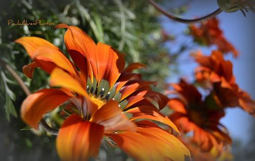 Gazaneas num rodopio em laranja intenso! by Paula C Alves