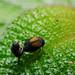 Bugs Mating II