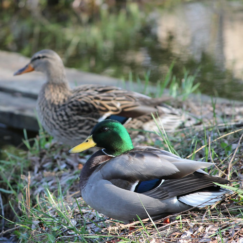 Visiting Mallards (3 of 4)