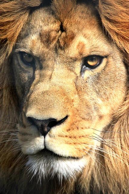Male Lion Head | Flick...