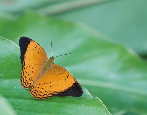 Yeoman butterfly, Cirrochroa malaya calypso IMG_6366 copy