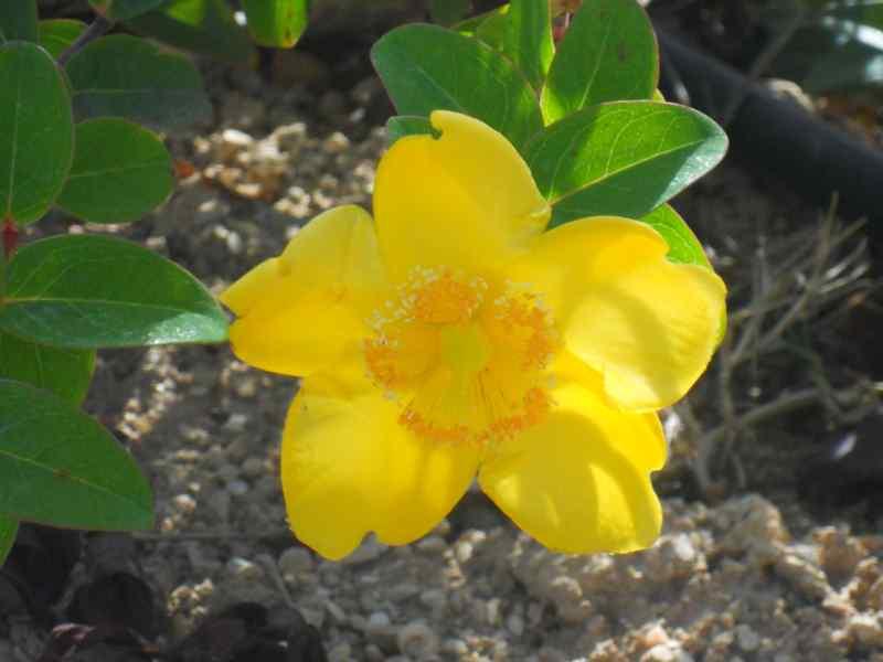 Hypericum moserianum 1