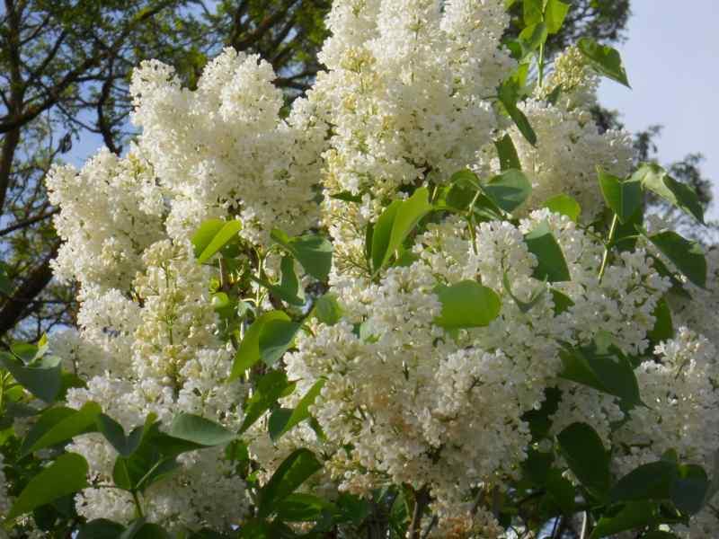 Syringa vulgaris blanco 23