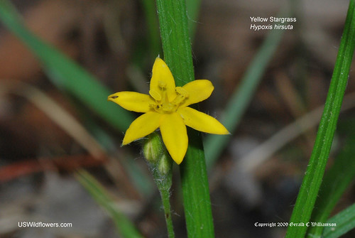 Yellow Star Grass, Common Goldstar - Hypoxis hirsuta