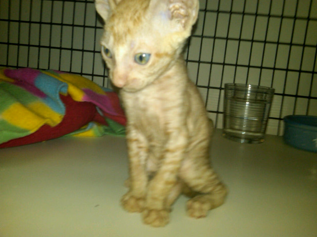 6 Week Old Male Cornish Rex Kitten. Sire: GC Quails Nest California Red (red