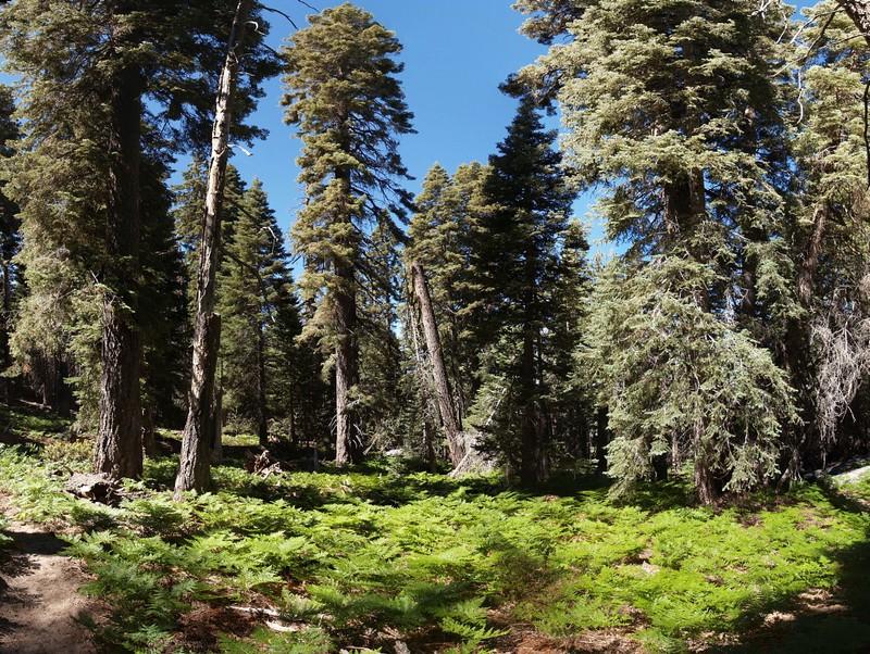 Fern-bottomed Pine Forest