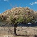 Storing corn stalks in a tree - Guardando los esquilmos de maíz (zacate) en un árbol; entre San José Ayuquila y Xenostle, Oaxaca, Mexico por Lon&Queta