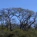 Árboles de Papelillo; cerca de Mariscala de Júarez, Oaxaca, Mexico por Lon&Queta