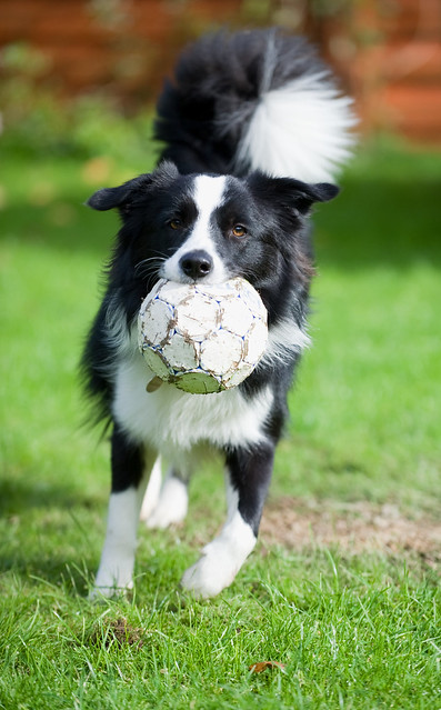 border collies playong with ball