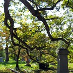 Under the Boughs of the Oldest Tree in Spring Grove Cemetery