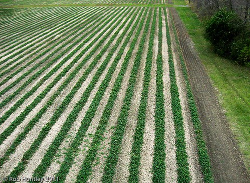 Aerial photograph of rows of strawberry slants at Shouldice Berry Farm.