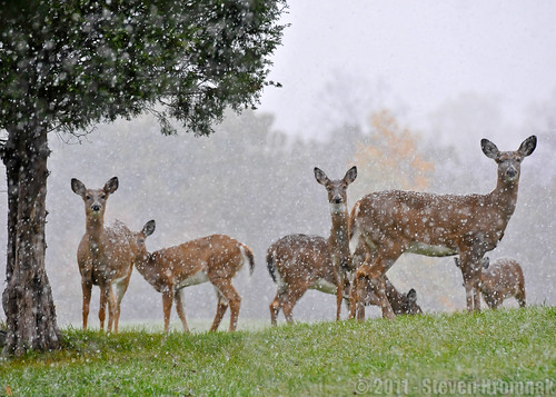 snow yard october deer blairstown specanimal newjerseytheherd