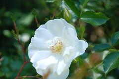 blossom, flower, branch, sunlight, plant, nature, rosa rubiginosa, macro photography, rosa canina, flora, rosa multiflora, rosa pimpinellifolia, petal,