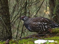 fowl(0.0), wild turkey(0.0), animal(1.0), fauna(1.0), ruffed grouse(1.0), beak(1.0), bird(1.0), galliformes(1.0), wildlife(1.0),