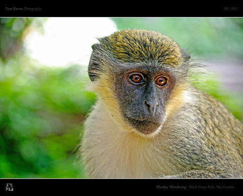 Monkey Wondering by TomRaven