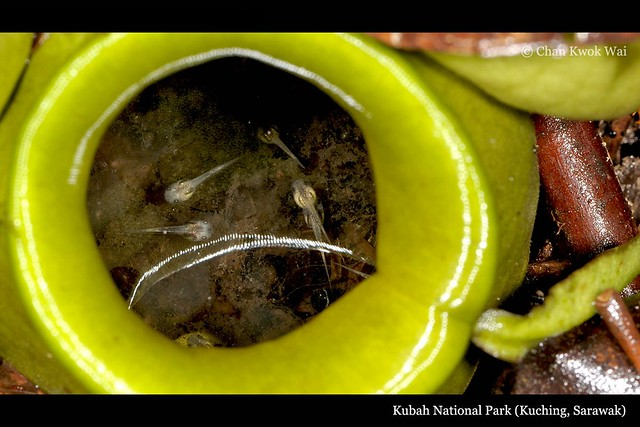 Tadpoles of Microhyla borneensis in Pitcher Plant