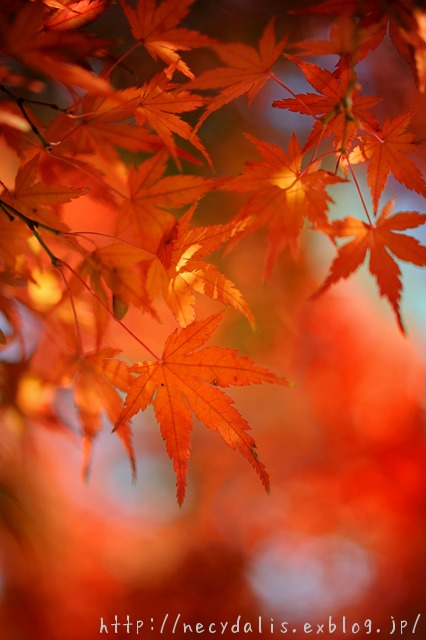 イロハモミジ [Acer palmatum]