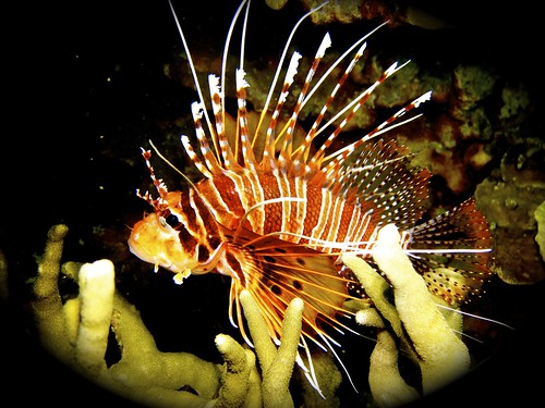 Spectacular view of a Lionfish taken by a scuba diver.