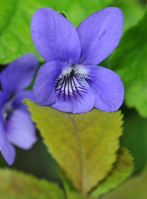 Viola labradorica schrank flickr photo sharing for Schrank flach