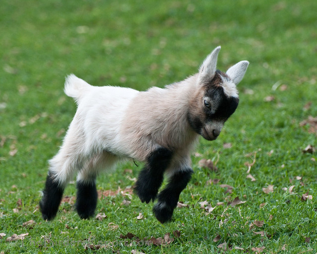 Pygmy Goat Kid Frolicking | Flickr - Photo Sharing!