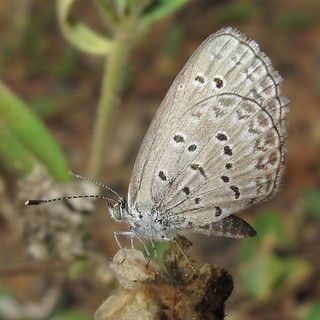 Dark Grass Blue - Zizina antanossa