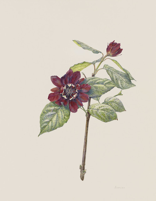 "Jean Emmons, xSinocalycanthus raulstonii 'Hartlage Wine', 2010. Plant Family collection. Watercolor on Strathmore Bristol board. 14"" x 11""."