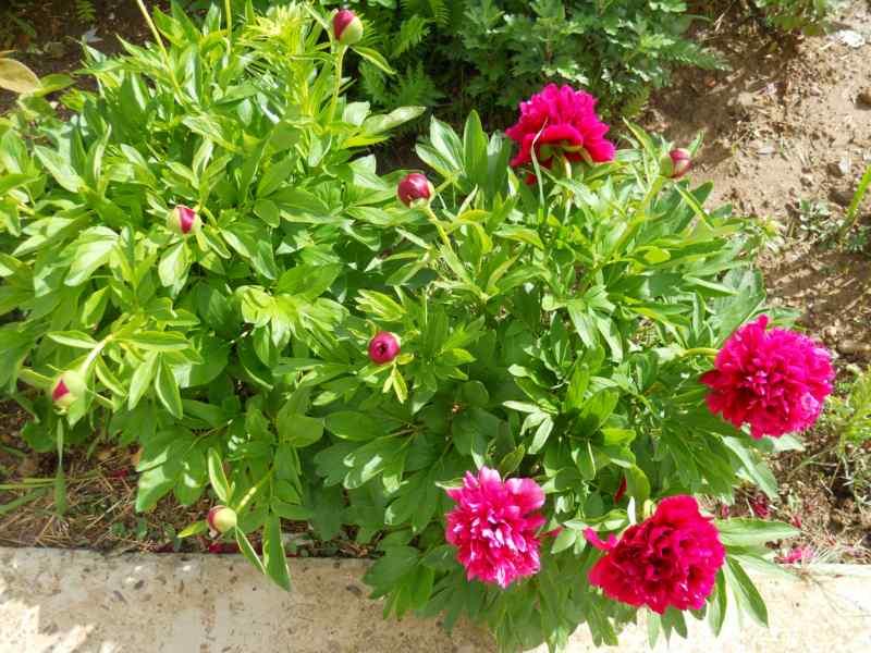 Paeonia lactiflora 3