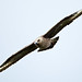 GREAT SKUA 3