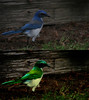 The Blue Bird of Happiness-Before & After