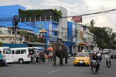Elephant in a street of Phnom Penh
