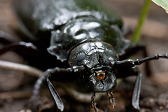 fly(0.0), japanese rhinoceros beetle(0.0), arthropod(1.0), animal(1.0), invertebrate(1.0), insect(1.0), macro photography(1.0), fauna(1.0), close-up(1.0), beetle(1.0),
