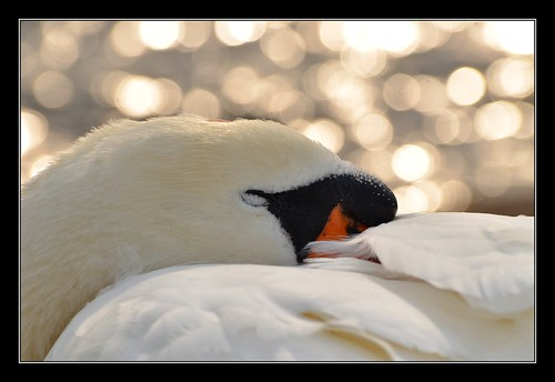 Sleepy Swan bokeh.....