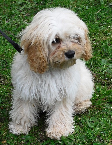 The Cutest Tibetan Terrier :-)