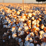 Technical Analysis Of The Cotton Market