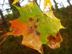 Lithuanian leaf