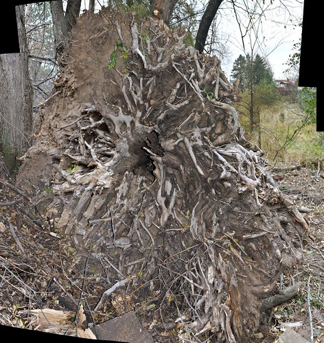 Underside of uprooted tree
