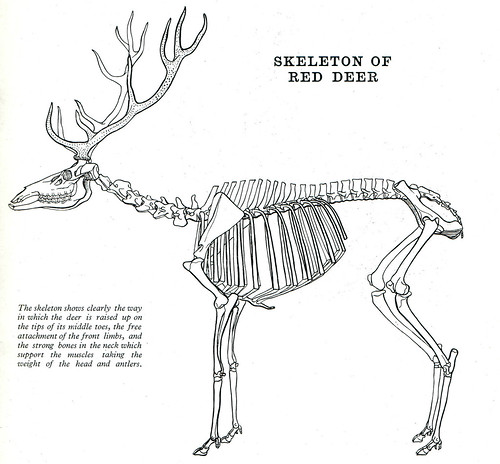 deer head diagram  deer  free engine image for user manual