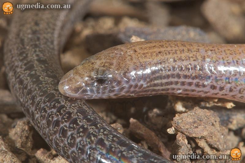 Short-necked worm-skink (Anomalopus brevicollis)