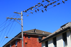 pigeon party line