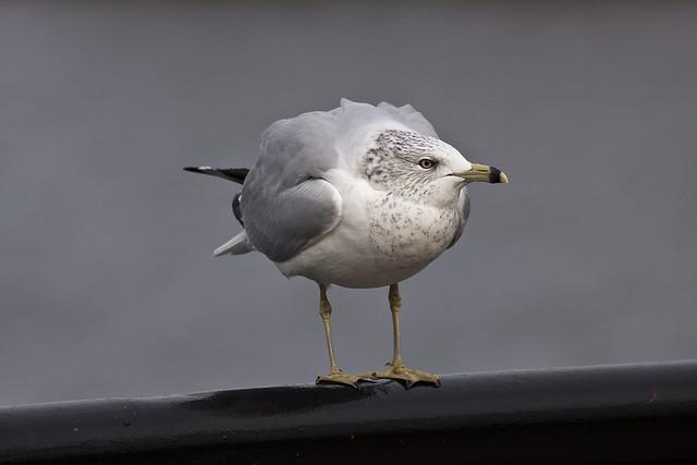 gull5