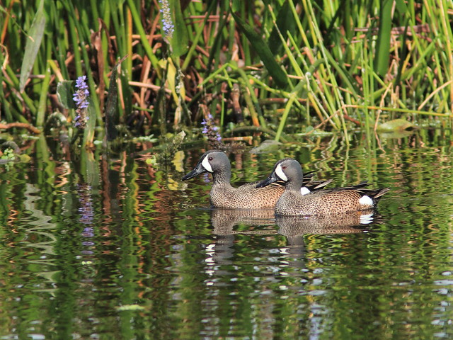 Blue-winged Teal males 20120318