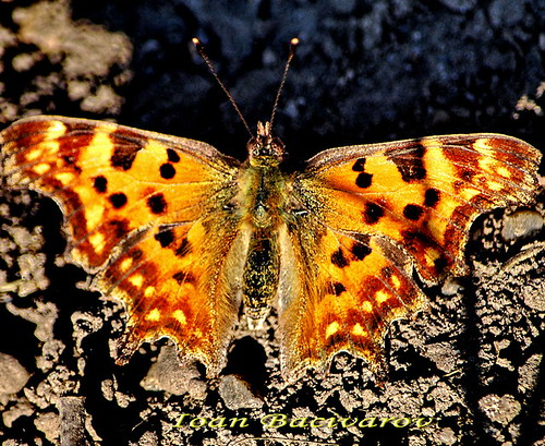 First butterfly of this spring- 18.03.2012