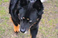 lapponian herder(0.0), puppy(0.0), karelian bear dog(0.0), dog breed(1.0), animal(1.0), dog(1.0), pet(1.0), mammal(1.0), bohemian shepherd(1.0),