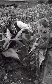 Jongen aan het werk op tabaksveld / Boy working in tobacco field
